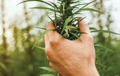 Image of cannabis crop