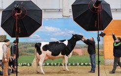Image of cow in photo studio