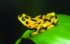 "The last of the Panamanian golden frogs are to be found in a ""frog hotel"" in El Valle de Anton. Photo: Brian Gratwicke"