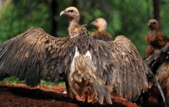 White-rumped Vultures, once abundant in north-east India, are considered a threatened species. © Corbis