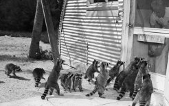 Hungry raccoons. © Bettmann / Corbis