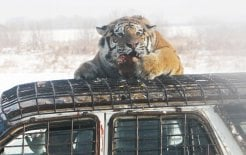 A Siberian tiger feeds on a live chicken in the Siberian Tiger Park in Harbin, 2011. © How Hwee Young/EPA/Corbis